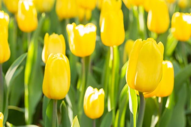 春の日の黄色のチューリップのフィールド。春に咲く花の庭で色とりどりのチューリップの花。