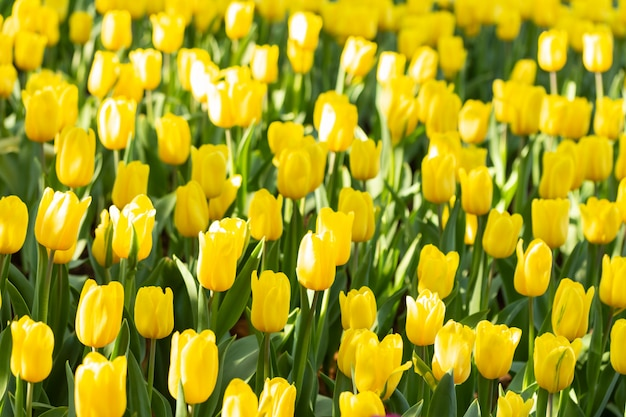Поле желтых тюльпанов в весенний день. цветастые тюльпаны цветут весной зацветая сад цветения.