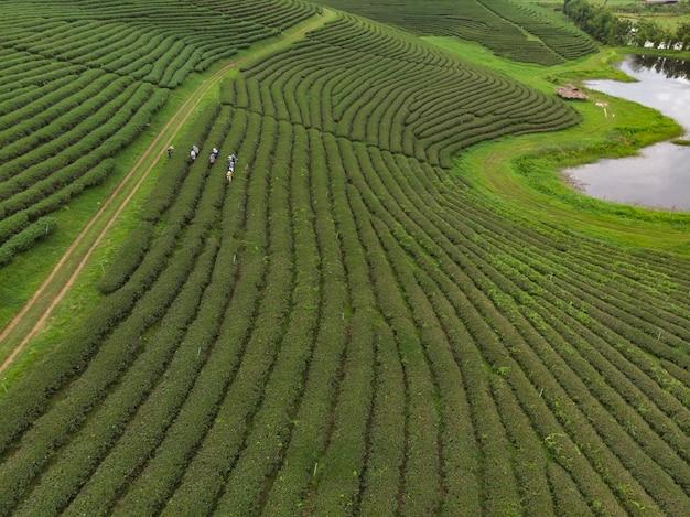 Рабочий собирает свежий зеленый чай