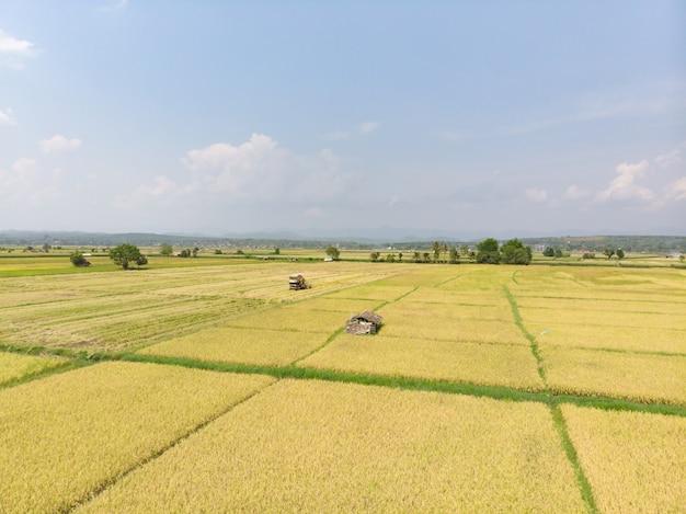 完全に育てられた水田は収穫する準備ができて