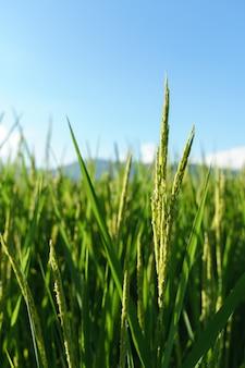 Зеленое рисовое растение