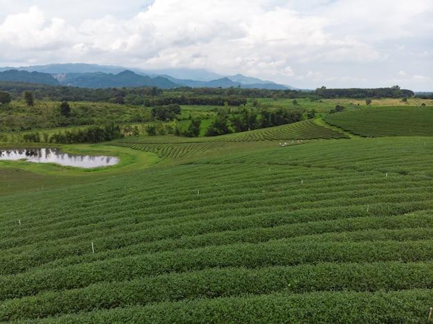 Красивая свежая плантация зеленого чая
