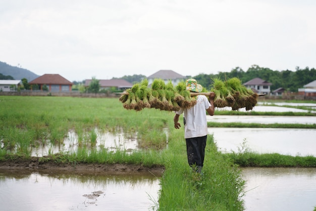 アジアの農民が水田の苗を持ち上げる