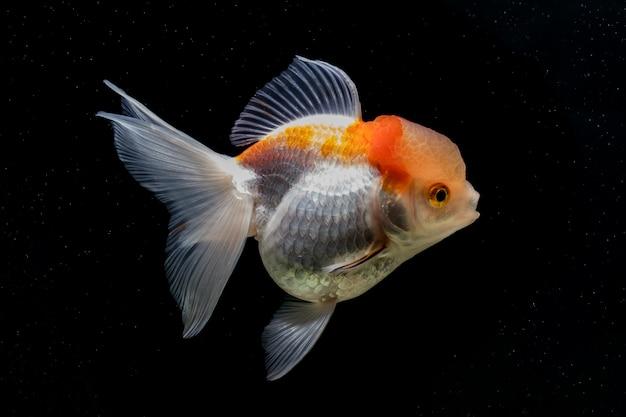 Золотая рыбка в черной сцене