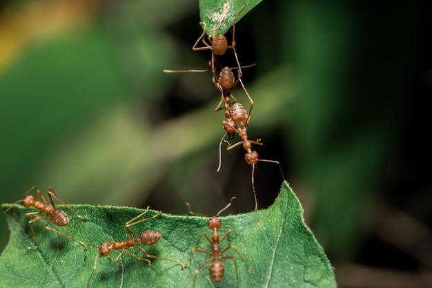 葉の上の赤いアリ
