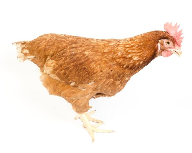 白背景に隔離された生殖年齢の雌鶏
