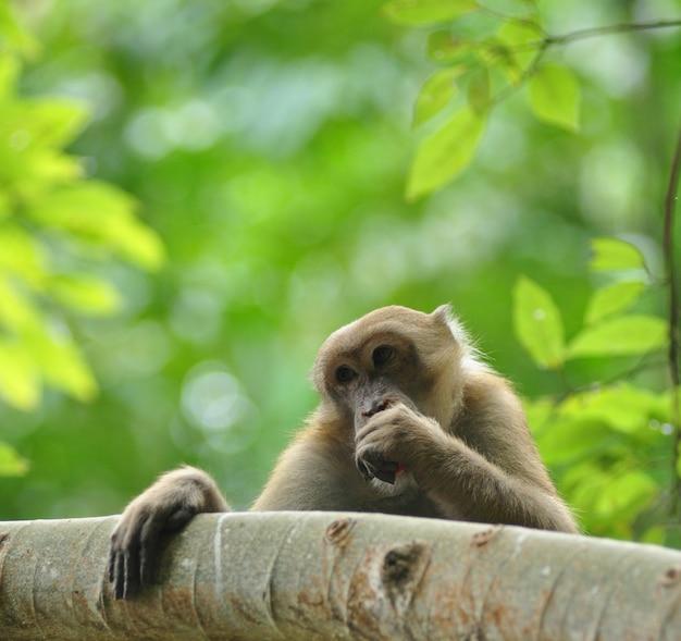自然界におけるサルの行動、野生のマカク