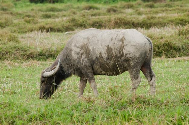 フィールドで草を食べる水牛。