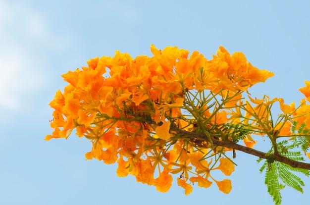 青空、タイと美しい孔雀の花