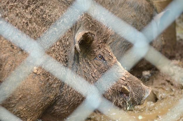 泥の中にある汚れた豚