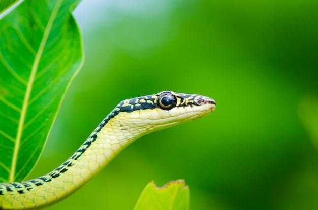 Конец-вверх зеленой змейки мамбы на дереве, тропическом лесе, таиланде