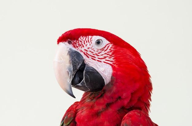 美しい赤いペットのオウム