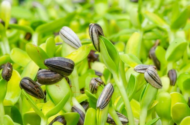 種子から生える緑の発芽