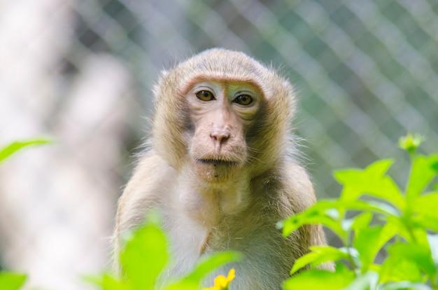 猿の肖像画、長いテールのマカク