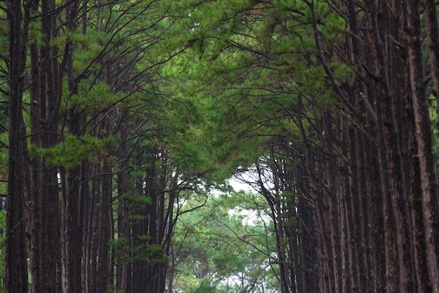 タイの松林