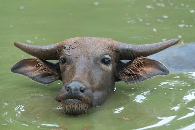 地元の農場、タイの牛