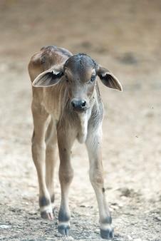 農場の子牛