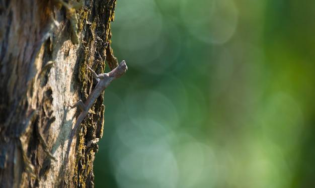 Летящий дракон, летающая ящерица на дереве в национальном парке кхауяй, таиланд