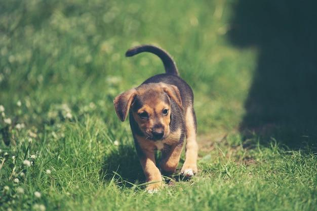 かわいい子犬犬が牧草地で走っています。