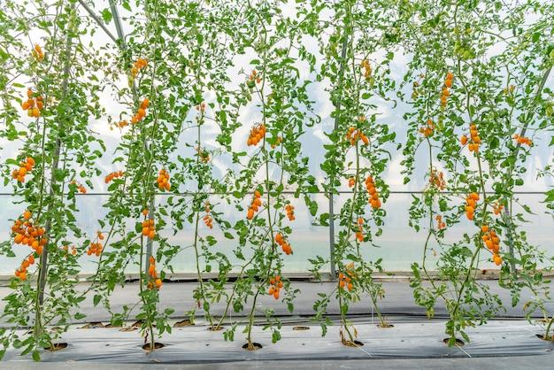 現代の農業技術システムの家で育ったトマト