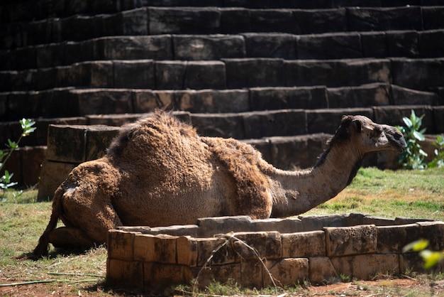 砂漠で休んでいるラクダ