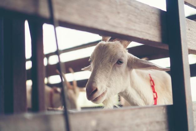 農場での牛乳山羊、有機牛乳山羊
