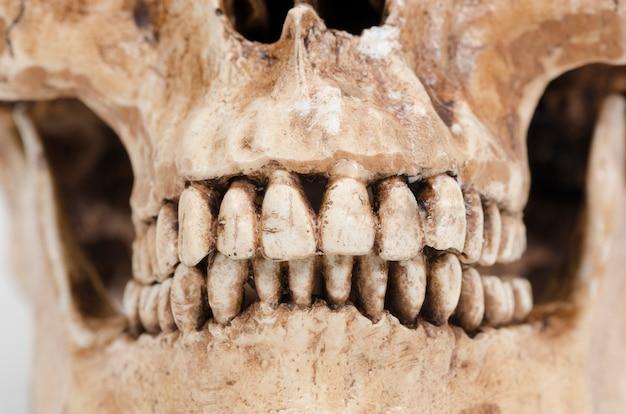 白い背景の上の人間の歯(頭蓋骨)のモデル