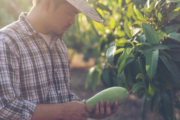 農家はマンゴーの品質をチェックしています
