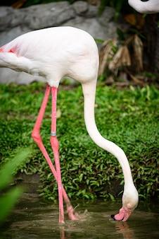 ピンクのフラミンゴ:オオフラミンゴはフラミンゴ科の中で最も一般的で広く見られる種です。