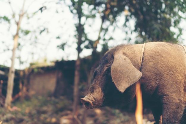 Черная свинья в местной ферме, таиланд