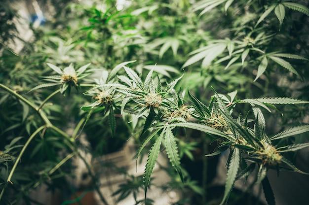 Буш цветущие травы конопли с семенами и цветами. концепция разведения марихуаны, конопли, легализация.