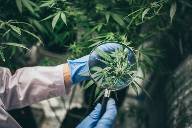 Профессиональные исследователи, работающие в конопляном поле, проверяют растения, альтернативную медицину и концепцию каннабиса