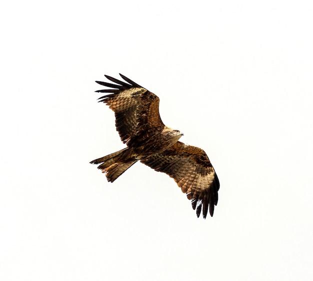 鷹飛ぶ頭上分離白