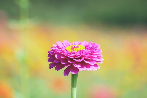 Цветки хризантемы крупным планом.