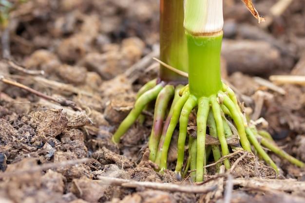 Кукурузные корни поздней осенью
