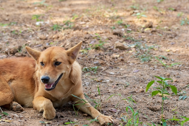 タイの犬は喜んで草の上に座っています。