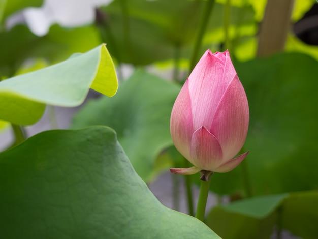 緑の葉の背景に池のピンクの蓮