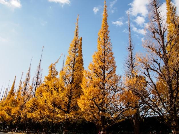 日本の秋の雲と青い空に黄色の葉を持つイチョウの木の行