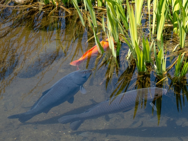 Много рыб в пруду с чистой водой и зелеными растениями