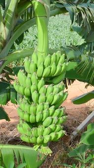バナナ農園のバナナの束