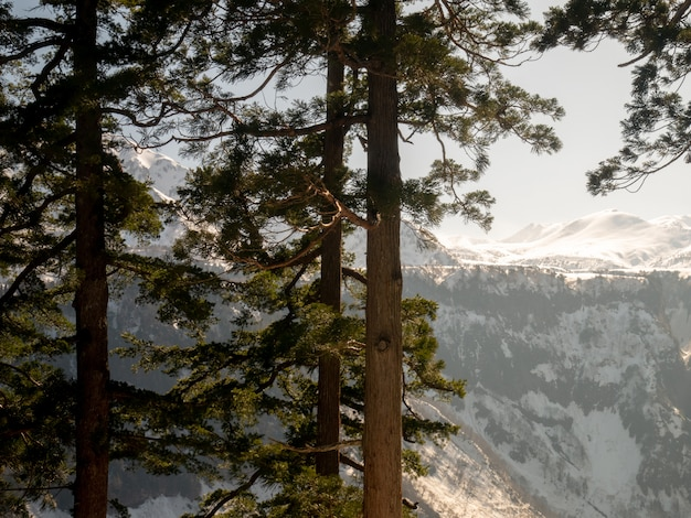 Сосны на горе со снегом на вершине горы