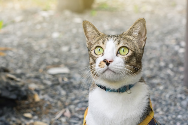 ぼやけた木の背景にフィールドで遊ぶタイの猫