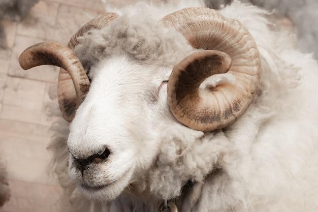 野生の大きな角の羊の頭と角