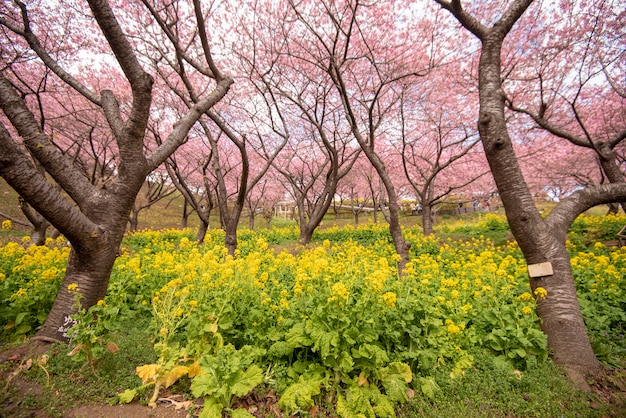 松田の美しい桜
