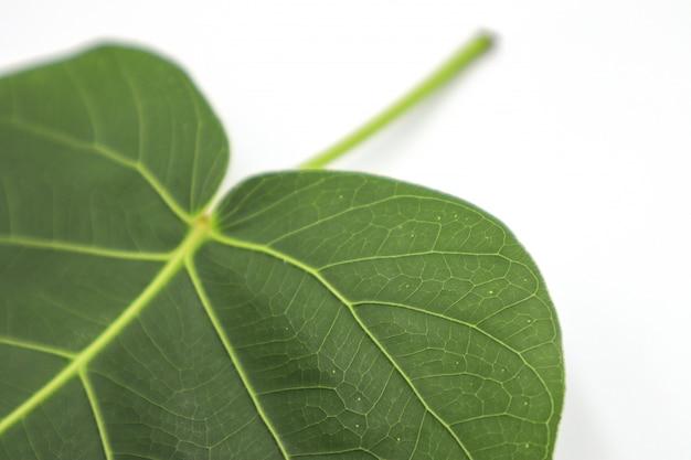 グリーンフォーの葉