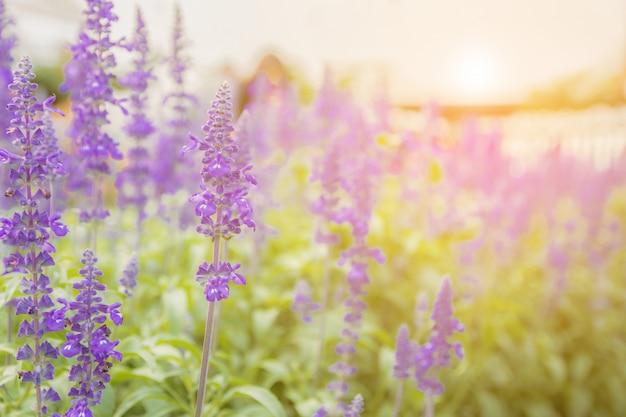 ラベンダーの花美しくて鮮やかな紫