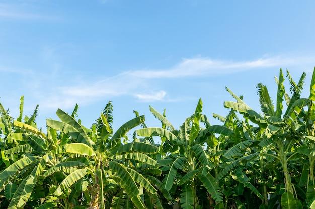 Банановое лесное дерево много натуральных свежих ярких