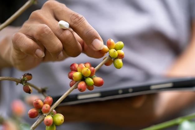 農場のコーヒー豆