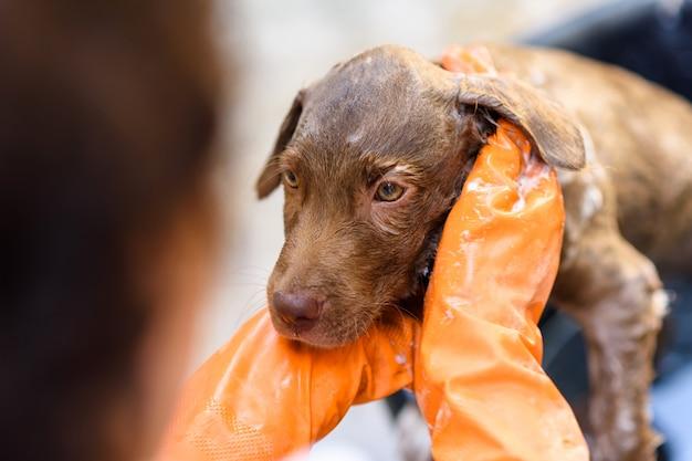 ラブラドールレトリーバーの子犬が風呂に入る