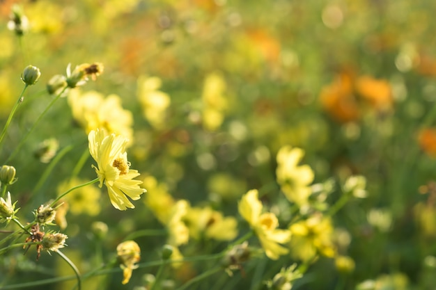 日の出のボケ味を持つ日当たりの良い黄色の花